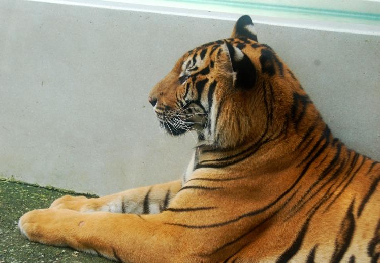 Medium Tiger